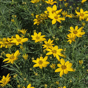 Coreopsis verticillata 'Zagreb' (Large Plant) - 1 x 3.5 litre potted coreopsis plant