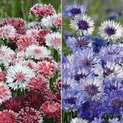 Cornflower Collection - 2 packets - 1 of each variety (400 cornflower seeds in total)