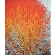 Cornus sanguinea 'Winter Flame' - 1 x 9cm potted cornus plant