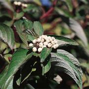Cornus sericea 'Baileyi' (Large Plant) - 1 x 3.6 litre potted cornus plant