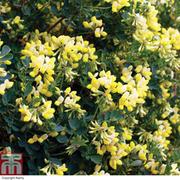 Coronilla glauca 'Citrina' - 1 x 9cm potted coronilla plant