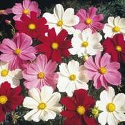 Cosmos bipinnatus 'Gazebo Mixed' - 1 packet (100 cosmos seeds)