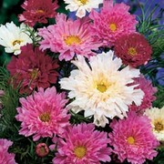 Cosmos bipinnatus 'Double Click' - 1 packet (65 cosmos seeds)