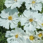 Cosmos bipinnatus 'Psyche White' - 1 packet (75 cosmos seeds)
