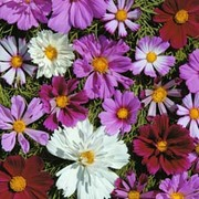 Cosmos bipinnatus 'Double All Sorts Mixed' - 1 packet (100 cosmos seeds)