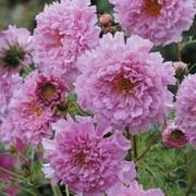 Cosmos bipinnatus 'Double Click Rose Bonbon' - 1 packet (20 cosmos seeds)