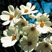 Cosmos bipinnatus 'Purity' - 1 packet (100 cosmos seeds)