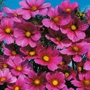 Cosmos bipinnatus 'Versailles Tetra' - 1 packet (100 cosmos seeds)
