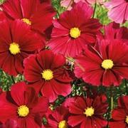 Cosmos bipinnatus 'Rubenza' - 1 packet (60 cosmos seeds)