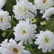 Cosmos bipinnatus 'Double Click Snow Puff' - 1 packet (50 cosmos seeds)