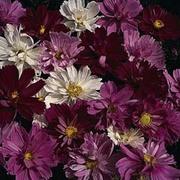 Cosmos bipinnatus 'Psyche Mixed' - 1 packet (100 seeds)