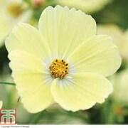 Cosmos bipinnatus 'Lemonade™' (Garden Ready) - 30 cosmos garden ready plants