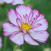 Cosmos bipinnatus 'Sweet Sixteen' - 1 packet (70 cosmos seeds)