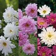 Cosmos bipinnatus 'Double Click Trio' - 3 packets - 1 of each variety (165 cosmos seeds in total)