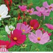 Cosmos bipinnatus 'Sonata Mixed' (Garden Ready) - 30 cosmos garden ready plants