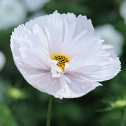 Cosmos bipinnatus 'Cupcakes White' - 1 packet (30 cosmos seeds)