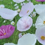 Cosmos bipinnatus 'Cupcakes' (Garden Ready) - 30 cosmos garden ready plants