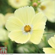 Cosmos bipinnatus 'Lemonade™' - 1 packet (30 cosmos seeds)