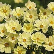 Cosmos bipinnatus 'Xanthos' - 2 packets (60 cosmos seeds)