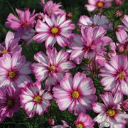 Cosmos bipinnatus 'Capriola' - 1 packet (30 cosmos seeds)