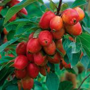 Crab Apple 'John Downie' - 1 root wrap crab apple tree