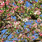 Crab apple (Hedging) - 1 bare root hedging plant