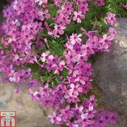 Phlox Collection (Creeping) - 10 phlox Postiplug plants