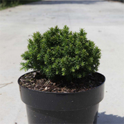 Cryptomeria japonica 'Compressa' (Large Plant) - 1 x 3 litre potted cryptomeria plant