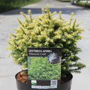 Cryptomeria japonica 'Vilmorin Gold' (Large Plant) - 1 x 3 litre potted cryptomeria plant