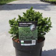 Cryptomeria japonica 'Vilmoriniana' (Large Plant) - 1 x 3 litre potted cryptomeria plant