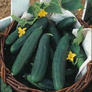 Cucumber 'Burpless Tasty Green' F1 Hybrid - 1 packet (10 cucumber seeds)