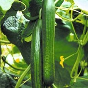 Cucumber 'Tiffany' F1 Hybrid - 1 packet (4 cucumber seeds)
