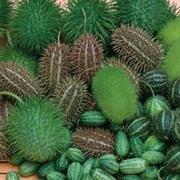 Cucumber 'Decorative Ornamental Mixed' - 1 packet (20 cucumber seeds)