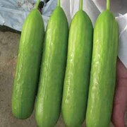 Cucumber 'Delizia' F1 Hybrid - 1 packet (3 cucumber seeds)