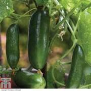Cucumber 'Cucino' F1 Hybrid - 3 cucumber jumbo plug plants