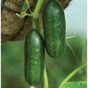 Cucumber 'Mini Munch' F1 Hybrid - RHS endorsed vegetable seeds - 1 packet (4 cucumber seeds)