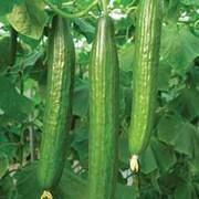 Cucumber 'Bella' F1 Hybrid - 1 packet (4 cucumber seeds)