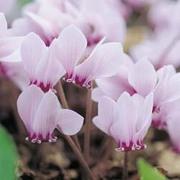 Cyclamen hederifolium (Large Plant) - 1 x 1 litre potted cyclamen plant
