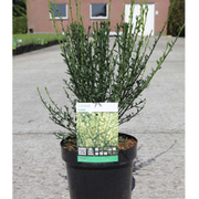 Cytisus 'Luna' (Large Plant) - 1 x 3.6 litre potted cytisus plant