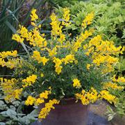 Cytisus 'Phebus' - 1 x 8cm potted cytisus plant
