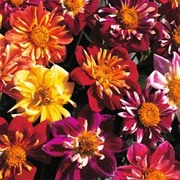 Dahlia variabilis 'Collarette Dandy' - 1 packet (55 dahlia seeds)