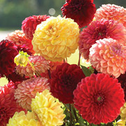 Dahlia variabilis 'Pompone Mixed' - 1 packet (50 dahlia seeds)