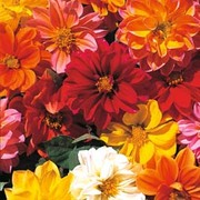 Dahlia variabilis 'Dwarf Mixed' - 1 packet (50 dahlia seeds)