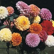 Dahlia variabilis 'Showpiece Mixed Hybrids' - 1 packet (35 dahlia seeds)