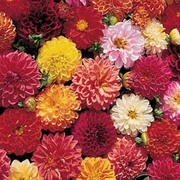 Dahlia variabilis 'Double Extreme' - 1 packet (25 dahlia seeds)