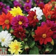 Dahlia 'Figaro Mixed' - 36 dahlia plug plants