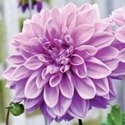Dahlia 'Blue Wish' - 3 dahlia tubers