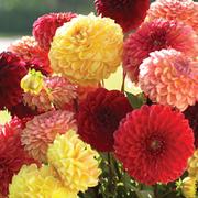 Dahlia 'Pompone Mixed' - 10 dahlia tubers