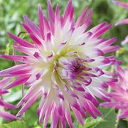 Dahlia 'Hayley Jane' - 10 dahlia tubers