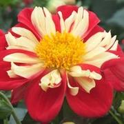 Dahlia 'Star Sister Red & Yellow' - 5 dahlia jumbo plug plants